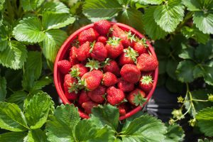 Red bowl of strawberries surrounded by plant