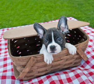 Cute French Bulldog peeking his cute little head out of a picnic basket.