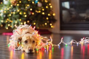 Dog tangled in holiday lights