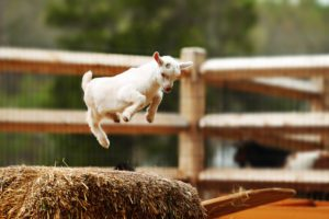 A baby goat is jumping high.