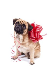 Pug with bow on back