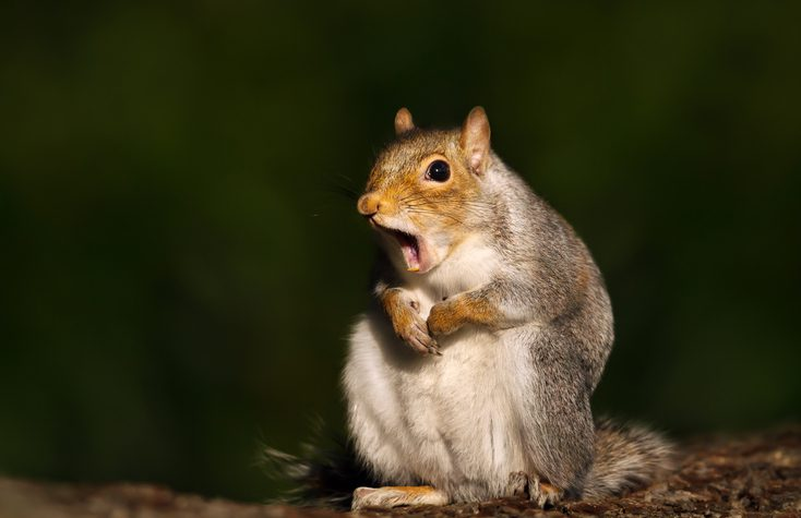 Close up of a grey squirrel yawning, UK.