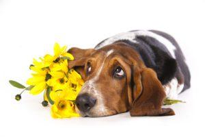 Basset hound and flowers yellow  chamomile