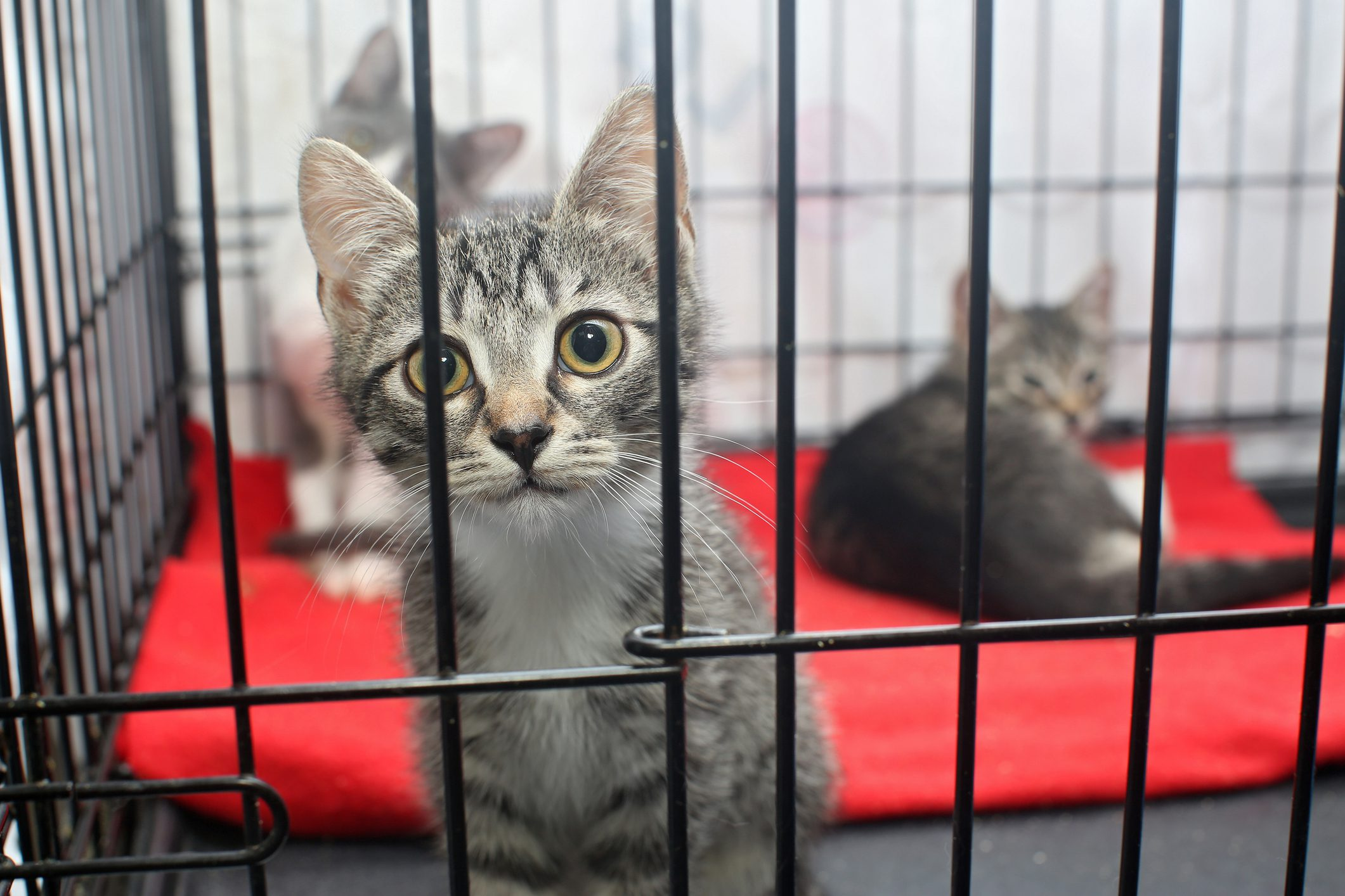Little Kittens in Cage waiting for Adoption