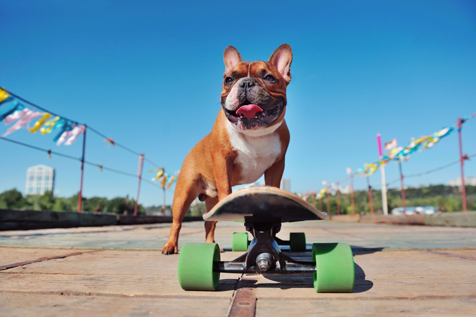 Low view of a dog skater against blue background